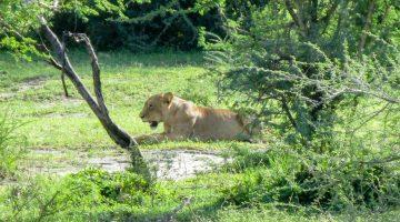 Löwin im Nationalpark